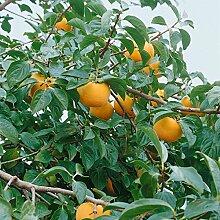 Amazon.de Pflanzenservice exotischer Obstbaum: Kaki, Kakipflaume, Honigapfel, Diospyros kaki, Busch, 1 Pflanze,  ca. 60 - 80 cm hoch, 3 Liter Container