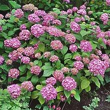 Amazon.de Pflanzenservice Gartenhortensie, Hortensia macrophylla, Strauch, rosa blühend, 1 Pflanze, 3-4 triebig, 10 - 40 cm hoch, zurückgeschnitten, 1,5 Liter Container