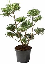 Amazon.de Pflanzenservice Pflanzen, Zypresse Chamaecyparis bläulich Pon Pon - Solitär, 5 L Container, 60 cm hoch, blau, 60x22x22 cm, 209035