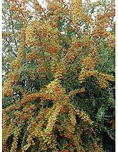 Amazon.de Pflanzenservice Sanddorn Busch, weiblich, 1 Pflanze,   20 - 40 cm hoch, 2 Liter Container
