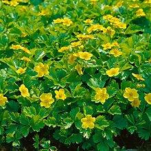Amazon.de Pflanzenservice Waldsteinia,  Golderdbeere, 5 Pflanzen,  ca. 10 cm hoch, Bodendecker, Schattenstauden, winterhar