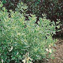 """Amazon.de Pflanzenservice Weißbunter Hartriegel, Cornus stolonifera """"""""White Gold"""""""", 1 Strauch im 3 Liter Topf, 1 Pflanze, 30 - 40 cm hoch"""