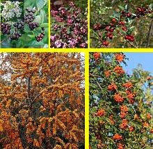 "Amazon.de Pflanzenservice winterharte Vogelhecke: je 2 Pflanze von Apfelbeere (Aronia prunifolia ""Viking""), Sanddorn (Hippophae rhamnoides), Eberesche (Sorbus aucuparia), Schneebeere (Symphiocarpus ""Mother of Pearl""), Fruchtmispel (Cotoneaster franchetii), 20 - 40 cm hoch, 2-Liter-Container"