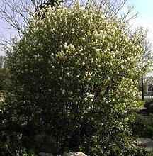 Amelanchier rotundifolia Helvetica - Felsenbirne