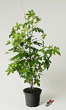 Amerikanischer Amberbaum - Liquidambar styraciflua