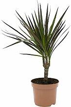 Ananas-Baum, Dracena marginata, 1 Pflanze, 10-12