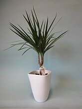Ananas-Baum, Dracena marginata, 1 Pflanze, 10 - 12 cm Topf, ca. 30cm hoch inkl Topf