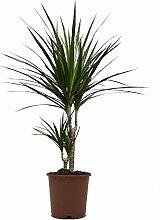 Ananas-Baum, Dracena marginata, 1 Pflanze, 15-17