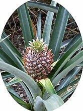 Ananas comosus Pflanze 20cm mit Frucht echte