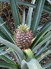 Ananas comosus Pflanze 5-10cm echte Ananaspflanze