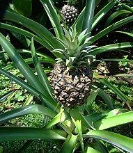 Ananas comosus Pflanze 5cm echte Ananaspflanze essbare süße Früchte