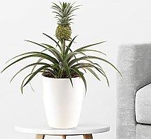 Ananas-Pflanze (Corona, 30 - 40 cm) + gratis Topf