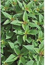 Ananas-Salbei - Salvia elegans 'Pino' im