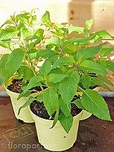 Ananas Salbei Salvia rutilans Kräuter Pflanzen