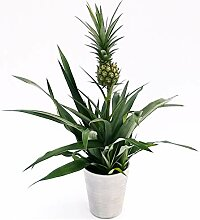 Ananas Weihnachtsversion, grüne Ananas-Pflanze in