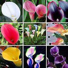 Andere: Calla Lily Bulbs Topf Balkon Pflanze Calla