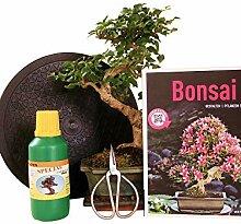 Anfänger Bonsai-Set Liguster - 6 teilig - ca. 30