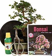 Anfänger Bonsai-Set Liguster - 6 teilig - ca. 35