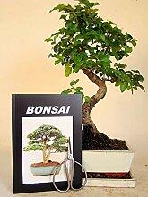Anfänger Bonsai-Set Liguster, ca. 30-35cm, 4