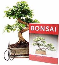 Anfänger Bonsai-Set Liguster, ca. 30cm, 4
