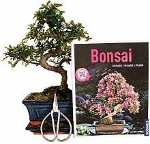 Anfänger Bonsai-Set Ulme, ca. 30cm, 4 teiliges