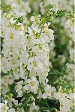 Angelonia angustifola, Engelsgesicht in weiß -