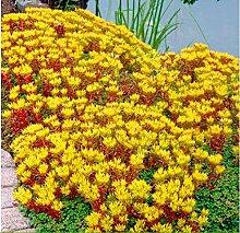 Anitra Perkins - 100 Pcs Selten Fetthenne (Sedum
