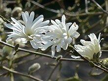 annas-garten Pflanze, Sternmagnolie / Magnolia stellata, 50-er Stamm, 10 L Topf, grün, 120 x 35 x 40 cm, 33412