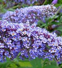 """annas-garten Pflanze, Zwerg-Sommerflieder / Schmetterlingsstrauch """"""""Summer Lounge"""""""", blaue Blüten, 60 x 30 x 30 cm, 35445"""