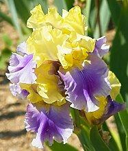 Anpassungsfähig,Schwertlilie Pflanze,Iris