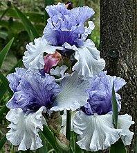 Anpassungsfähig,Schwertlilie Pflanze,Schwertlilie