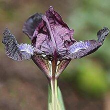 Anpassungsfähig,Schwertlilie Rhizom,Iris