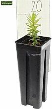 Antentanne - Araucaria araucana - Jungpflanze im