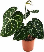 Anthurium clarinervium - exotische Herzblattblume