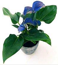 Anthurium Color Life Blau in rustikaler