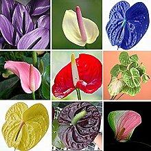 Anthurium Pflanze 100 Samen ganzjährig Indoor Air