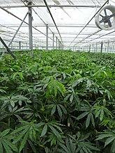 Anthurium Polyschistum Tweed - falsches Marihuana