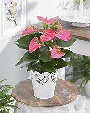Anthurium Tailblume- tropisches dekoratives