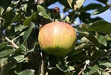Apfel Busch-Baum Jonagold süß 130-150 cm gelb-grünes Obst Gartenpflanze 1 Pflanze
