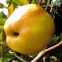 Apfel Dülmener Rosenapfel. Busch. 1 Pflanze - zu