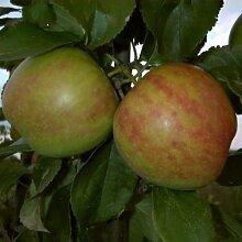 Apfel Gravensteiner Busch. 1 Pflanze - zu dem