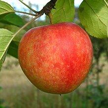 Apfel Halbstamm Cox Orange süß 150-180 cm gelb-rotes Obst Gartenpflanze 1 Pflanze