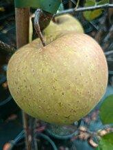 Apfel Halbstamm Golden Delicious süß 150-180 cm gelb-grünes Obst Gartenpflanze 1 Pflanze