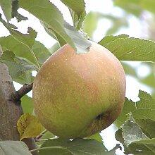 Apfel Halbstamm Grüner Boskoop sauer-aromatisch 150-180 cm braun-grünes Obst Gartenpflanze 1 Pflanze