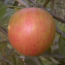 Apfel Holsteiner Cox, Busch