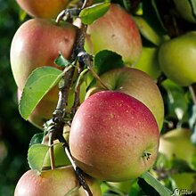 Apfel Pinova - Malus - Winterhart - Fruchtreife