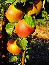 Apfel Roter Boskoop. Busch. 1 Pflanze - zu dem