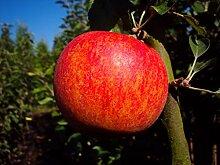 Apfelbaum Alkmene LH 130-150 cm, Äpfel grün,
