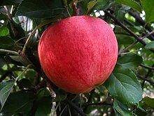 Apfelbaum, Elstar, Malus domestica, Obstbaum