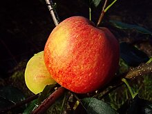 Apfelbaum Gala LH 130-150 cm, Äpfel rot-gelb,